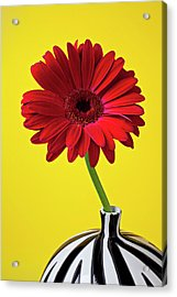 Red Mum Against Yellow Background Acrylic Print by Garry Gay