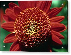 Acrylic Print featuring the photograph Red Mum Center by Sally Weigand