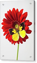 Red Mum With Dogface Butterfly Acrylic Print by Garry Gay