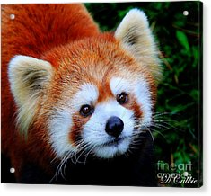 Acrylic Print featuring the photograph Red Panda by Davandra Cribbie