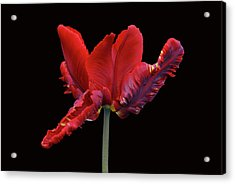 Red Parrot Tulip Acrylic Print by Sandy Keeton