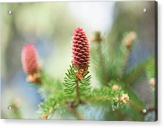 Red Pine Cone In Spring Time Acrylic Print by Jenny Rainbow