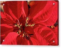 Acrylic Print featuring the photograph Red Poinsettia Macro by Sally Weigand