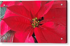 Red Poinsettia Acrylic Print