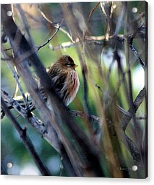 Red Poll, Resting Acrylic Print