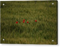 Red Poppies In Meadow Acrylic Print