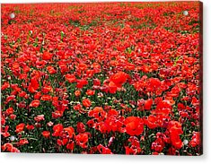 Red Poppies Acrylic Print