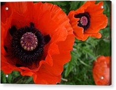 Red Poppies Acrylic Print by Lynne Guimond Sabean