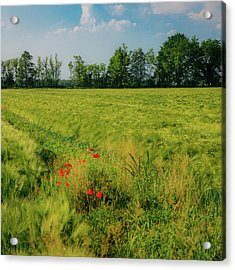 Red Poppies On A Green Wheat Field Acrylic Print