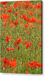 Red Poppies Acrylic Print by Wayne Molyneux