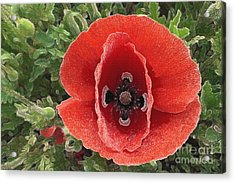 Acrylic Print featuring the photograph Red Poppy Flower 2 by Jean Bernard Roussilhe