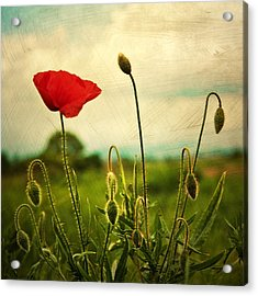 Red Poppy Acrylic Print by Violet Gray