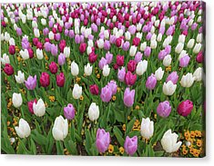 Red  Purple And White Tulips Acrylic Print