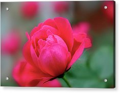Acrylic Print featuring the photograph Red Red Rose by Sheryl Thomas