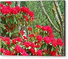 Red Rhododendron Garden Art Prints Rhodies Landscape Baslee Troutman Acrylic Print by Baslee Troutman