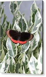Red Rim Butterfly Acrylic Print