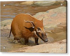Red River Hog  Acrylic Print