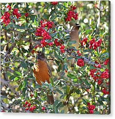 Red Robin And Cedar Waxwing 1 Acrylic Print by Linda Brody
