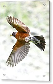 Red Robin In Flight Acrylic Print by Amy G Taylor