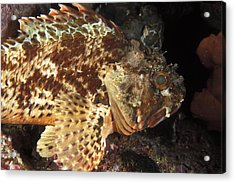 Red Rock Cod Fish. Scorpaena Papillosa Acrylic Print by James Forte
