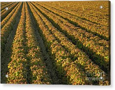 Red Romaine Lettuce Field Acrylic Print by Inga Spence