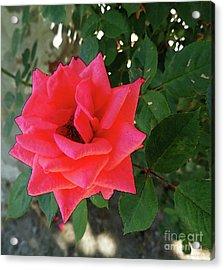 Pink Rose  Acrylic Print by Don Pedro De Gracia