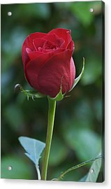 Red Rose 2 Acrylic Print by Susan Heller