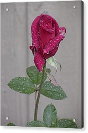 Red Rose In Rain Acrylic Print