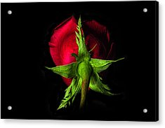 Red Rose In Reverse Acrylic Print by Zev Steinhardt
