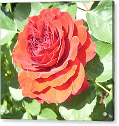 Red Rose Acrylic Print by Lisa Roy