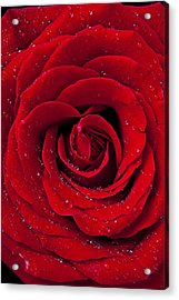 Red Rose With Dew Acrylic Print by Garry Gay