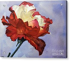 Watercolor Of A Red And White Rose On Blue Field Acrylic Print