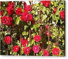 Red Roses In Summertime Acrylic Print