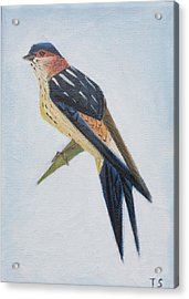 Red-rumped Swallow Acrylic Print