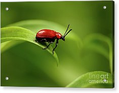 Red Scarlet Lily Beetle On Plant Acrylic Print by Sergey Taran
