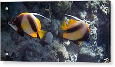 Red Sea Bannerfish 2 Acrylic Print