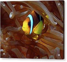 Red Sea Clownfish, Eilat, Israel 8 Acrylic Print
