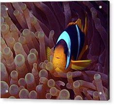 Red Sea Clownfish, Eilat, Israel 9 Acrylic Print