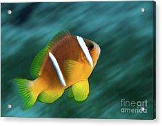 Red Sea Clownfish  Acrylic Print by Hagai Nativ