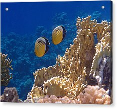 Red Sea Exquisite Butterflyfish  Acrylic Print