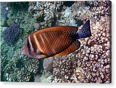 Red Sea Sailfin Tang 3 Acrylic Print