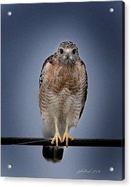 Red Shoulder Hawk Acrylic Print by Joseph G Holland