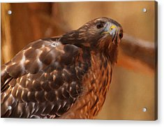 Red Shouldered Hawk 1  Acrylic Print by Chris Flees