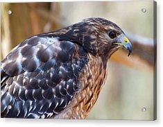 Red Shouldered Hawk 2 Acrylic Print by Chris Flees