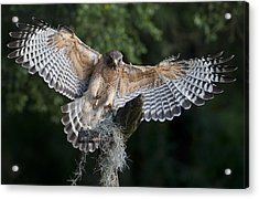 Red Shouldered Hawk 2 Acrylic Print