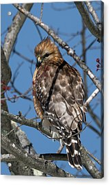 Acrylic Print featuring the photograph Red Shouldered Hawk 2017 by Bill Wakeley