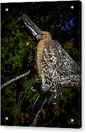 Red-shouldered Hawk Acrylic Print by Barry Jones