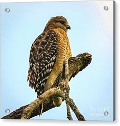 Red-shouldered Hawk - Buteo Lineatus Acrylic Print