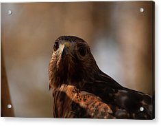 Red Shouldered Hawk Close Up Acrylic Print by Chris Flees