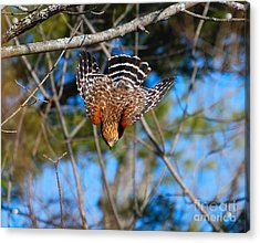 Acrylic Print featuring the photograph Red-shouldered Hawk  by Debbie Stahre